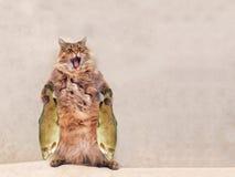 Duży kostrzewiasty kot jest bardzo śmiesznym pozycją, Obraz Stock