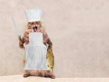 Duży kostrzewiasty kot jest bardzo śmiesznym pozycją, kucharz 4 Obraz Royalty Free