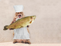 Duży kostrzewiasty kot jest bardzo śmiesznym pozycją, kucharz 7 Obrazy Royalty Free