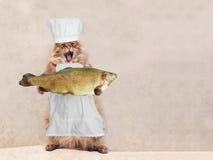 Duży kostrzewiasty kot jest bardzo śmiesznym pozycją, kucharz 3 Fotografia Royalty Free