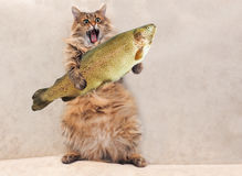 Duży kostrzewiasty kot jest bardzo śmiesznym pozycją, kucharz 6 Obraz Stock