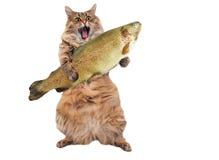 Duży kostrzewiasty kot jest bardzo śmiesznym pozycją, kucharz 5 Obraz Stock