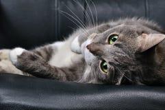 duży kot Obraz Royalty Free