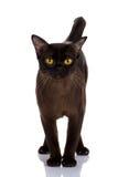 Duży kot, piękny kot, purebred kot, puszysty kot, dumny kot, czarny kot - portreta czarny kot Zdjęcie Royalty Free