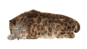 Duży kot Smilodon ilustracja wektor