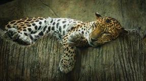 Duży kot, tygrys, jest super gnuśny kłaść na łóżku Obrazy Stock