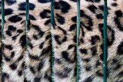 Duży kot w klatce, swój futerko za zoo barami, niewola obrazy stock