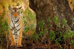 Duży kot, zagrażający zwierzę chujący w lasowej końcówce pora sucha Tygrysi odprowadzenie w zielonej roślinności Dziki Azja, przy Zdjęcia Stock