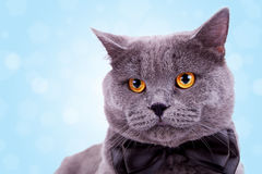 duży kota śliczna anglików głowa obraz stock