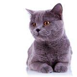 duży kota ciekawi anglicy zdjęcie royalty free