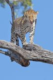 duży kota lampart dostrzegający Obrazy Royalty Free