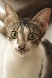 duży kota oczy Obraz Royalty Free