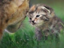 duży kota rodziny figlarka mała Zdjęcia Royalty Free