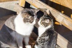 duży kota rodziny figlarka mała Zdjęcie Royalty Free