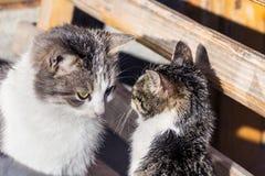 duży kota rodziny figlarka mała Obrazy Royalty Free