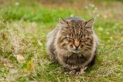 duży kota tabby Zdjęcie Royalty Free