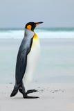 Duży królewiątko pingwin skacze z błękitne wody podczas gdy pływający przez oceanu w Falkland wyspie Przyrody scena od natury Fun Zdjęcia Royalty Free