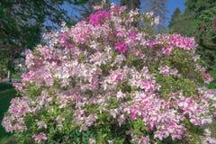 Duży krzak fiołka i menchii kwiaty zdjęcia stock