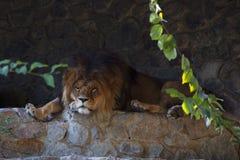 Duży lew z puszystą grzywą predator Obraz Royalty Free