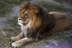Duży lew z puszystą grzywą predator Fotografia Royalty Free