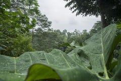 Duży liść w lesie tropikalnym Sao wolumin Obraz Stock