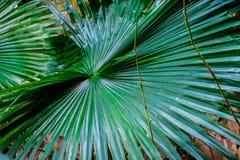 Du?y li?? zielony tropikalny drzewko palmowe charcica Niezwyk?e ro?liny t?o lub tekstura zdjęcia royalty free