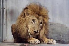 Duży męski śliczny lwa obsiadanie na podłodze w zoo obraz royalty free