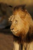 Duży męski Afrykański lew Zdjęcia Royalty Free