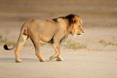 Duży męski Afrykański lew Obrazy Royalty Free