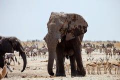 Duży męski Afrykański słoń, Namibia Obrazy Royalty Free