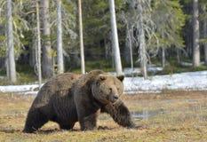 Duży męski brown niedźwiedź na bagnie w lesie w wiośnie Obraz Royalty Free