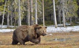Duży męski brown niedźwiedź na bagnie w lesie w wiośnie Fotografia Stock