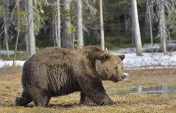 Duży męski brown niedźwiedź na bagnie w lesie w wiośnie Obrazy Stock