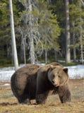 Duży męski brown niedźwiedź na bagnie w lesie w wiośnie Zdjęcia Royalty Free