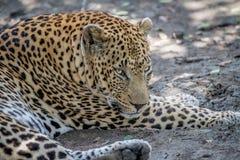 Duży męski lampart kłaść w dół w Kruger Zdjęcie Stock