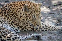 Duży męski lampart kłaść w dół w Kruger Fotografia Stock