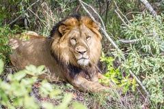 Duży męski lew gra główna rolę przy kamerą Obrazy Stock