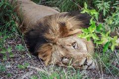 Duży męski lew kłaść w dół Fotografia Royalty Free