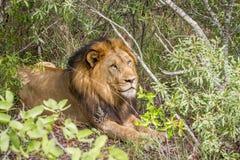 Duży męski lew kłaść w krzaku Obrazy Royalty Free