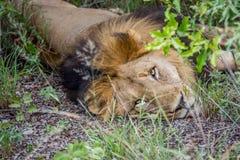 Duży męski lew kłaść w krzaku Zdjęcia Royalty Free