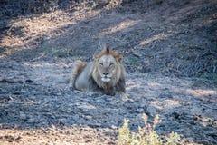 Duży męski lew kłaść w piasku Zdjęcia Stock