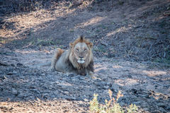 Duży męski lew kłaść w piasku Obrazy Stock