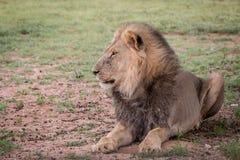 Duży męski lew kłaść w trawie Obrazy Stock