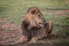 Duży męski lew kłaść w trawie Obrazy Royalty Free