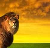 Duży męski lew na sawannie fotografia stock