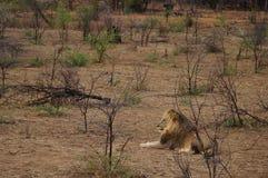 Duży Męski lew osiedla puszek dla odpoczynku w Południowa Afryka Fotografia Royalty Free