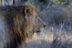 Duży męski lew (Panthera Leo) Fotografia Royalty Free