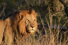 Duży męski lew (Panthera Leo) Zdjęcia Stock