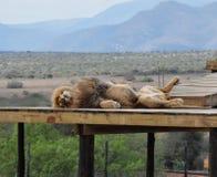 Duży męski lew pokazuje swój brzucha Zdjęcia Royalty Free