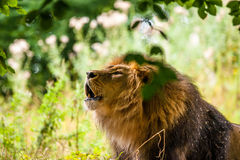 Duży męski lwa huczenie Obraz Royalty Free